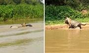 Báo đốm ẩn mình đoạt mạng cá sấu caiman trên sông