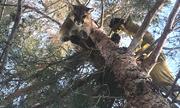 Báo sư tử mắc kẹt trên ngọn cây cao 15 m
