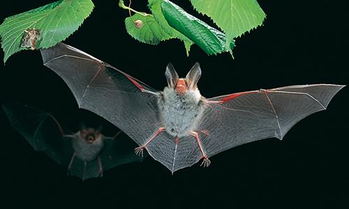 Dơi là bộ có số lượng loài nhiều thứ hai trong lớp Thú. Ảnh: Wikipedia.