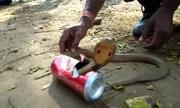 Giải cứu rắn hổ mang đất kẹt đầu trong lon bia