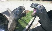 Đôi rùa khổng lồ không nhìn mặt nhau sau 115 năm chung sống
