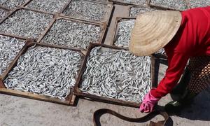 Làng nghề hấp cá phơi khô lớn nhất miền Trung hồi sinh
