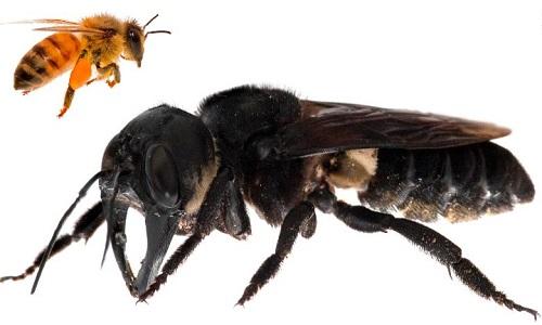 Ong khổng lồ Wallace lớn gấp 4 lần ong mật châu Âu. Ảnh: Live Science.