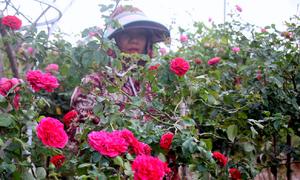 Vườn hoa hồng 3 tỷ đồng của người đàn ông Bà Rịa - Vũng Tàu