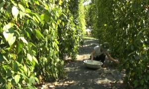 Hồ tiêu ở Bình Phước thất thu do thiếu nhân công thu hoạch