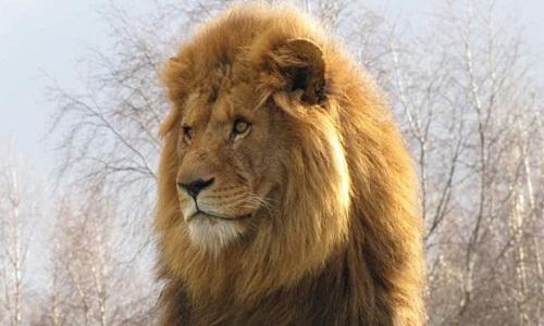 Mojo chung sống hòa bình với bầy sư tử cái suốt 1,5 năm. Ảnh: BBC.