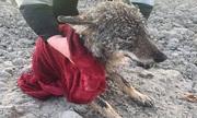 Tưởng chó con đông cứng trên băng, người đàn ông cứu nhầm chó sói
