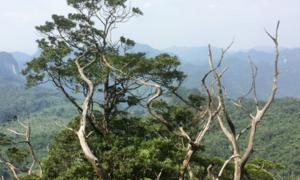 Quần thể bách xanh hơn 500 tuổi ở Quảng Bình