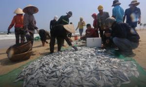 Giăng lưới kéo bắt hàng tấn cá ở bờ biển Quảng Nam
