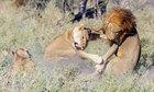 Sư tử cái có phải là loài hung dữ nhất không?