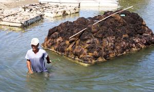 Nông dân kết bè phao thu rong câu chỉ trên đầm ở Khánh Hòa