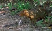 Cuộc tử chiến giữa cầy mangut và rắn mamba đen
