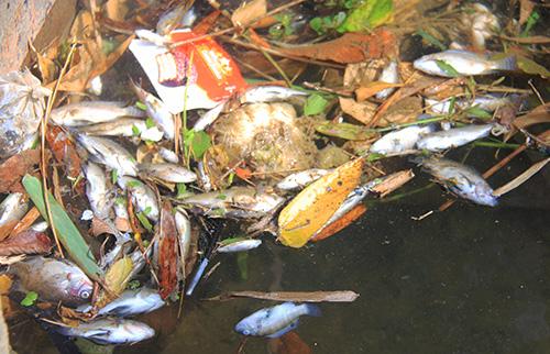 Cá chết dạt vào bờ kênh. Ảnh: Đắc Thành.