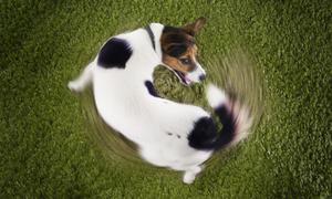 Tại sao trước khi nằm chó thường quay tròn ba vòng?