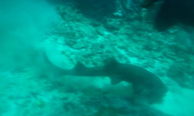 Cá mập lao xuống ngoạm bạch tuộc ngay trước mặt thợ lặn