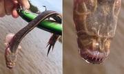 Thủy quái 'mù' cắn câu trên sông Australia