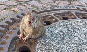Giải cứu chuột béo mắc kẹt nửa thân dưới lỗ cống
