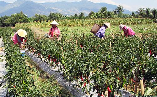 Vườn ớt Hàn Quốc của gia đình bà Bé ở Ninh Thuận vào mùa thu hoạch. Ảnh: Thanh Châu