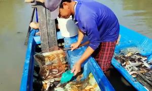 Dùng vợt vớt cá bị ngấm thuốc trong vuông tôm ở miền Tây