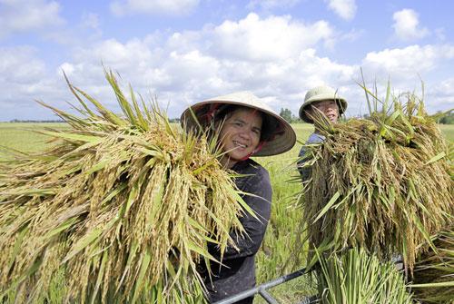 Giống lúa J02 gieo cấy tại Hải Phòng năng suất đạt 8,5-9 tấn/ha thu hoạch vụ hè 2017. Ảnh: Loan Lê.