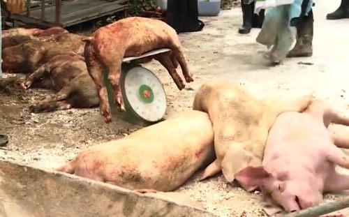 Đàn lợn 35 con của gia đình ông Vũ Văn Đạt ở xã Chính Mỹ (Thủy Nguyên, TP Hải Phòng) chết do mắc bệnh dịch tả lợn châu Phi.