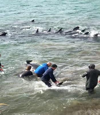 Đàn cá voi được giải cứu thành công. Ảnh: Facebook.