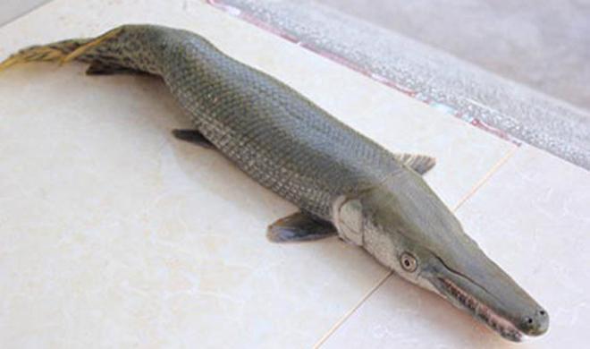 Một tiêu bản cá sấu hỏa tiễn. Ảnh: N.K.