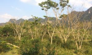 Rừng sưa rộng 10 ha của người A Rem ở Quảng Bình