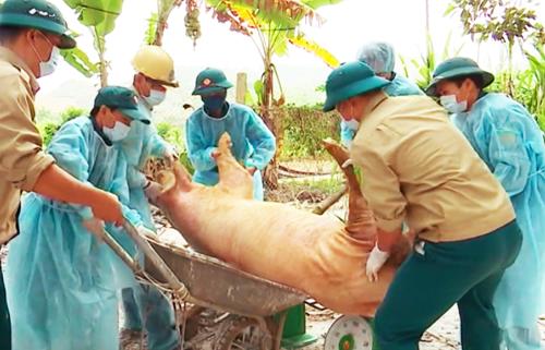 Tiêu huỷ lợn bệnh tại xã Hợp Thanh, Hoà Bình. Ảnh: Khương Lực.
