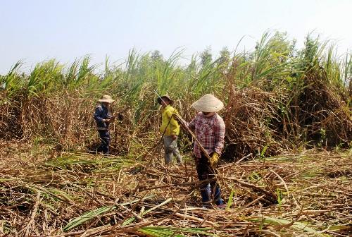 Người dân Quảng Ngãi thu hoạch mía muộn một tháng vì không có người mua. Ảnh: Phạm Linh.