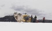 Bầy sói Canada được điều tới Mỹ để tiêu diệt nai sừng tấm