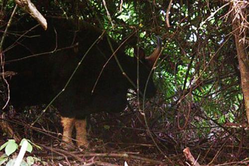 Bò tót được bẫy ảnh chụp lại ở nhiều khu vực của Vườn quốc gia Phong Nha - Kẻ Bàng. Ảnh: Vườn quốc gia