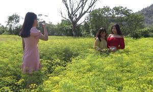 Cánh đồng hoa thì là rộng hơn 10 ha nở rộ ở Ninh Thuận