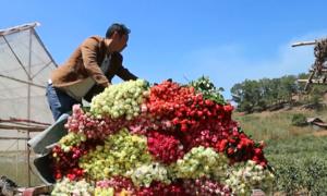 Làng triệu phú hoa hồng dưới chân núi Langbiang