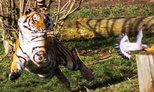 Hổ Amur chỉ chậm vài giây khi vồ chim bồ câu. Ảnh: SWNS.