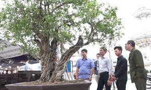 Cây thạch lựu 300 tuổi giá hơn một tỷ đồng ở Hà Nội