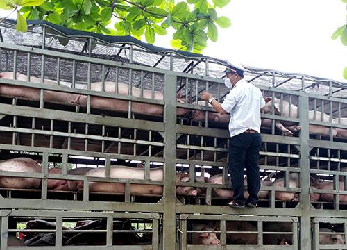 Nhân viên trạm kiểm dịch kiểm tra kỹ đàn lợn thịt để kịp thời xử lý tình huống. Ảnh: Ngọc Trường.