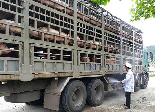 Các xe chở lợn qua Đà Nẵng được sát trùng để phòng lây lan dịch tả lợn châu Phi. Ảnh: Ngọc Trường.