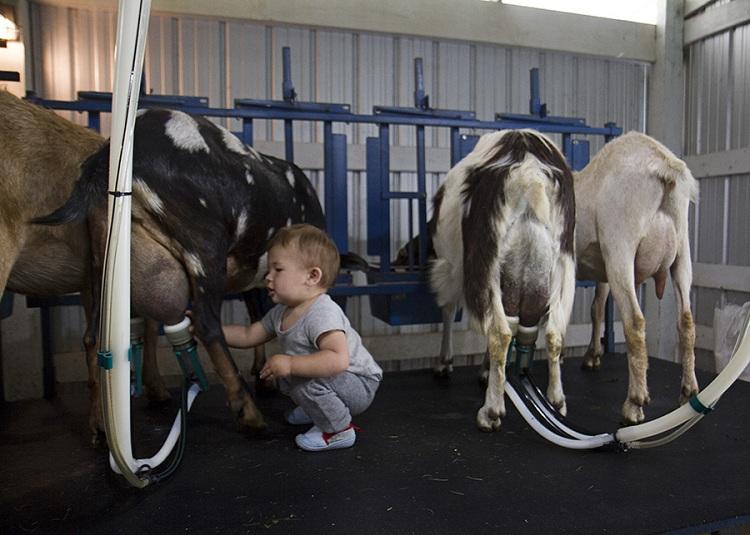 Trang trại sữa bò giúp vợ chồng Rachael dạy con nhiều bài học ý nghĩa. Ảnh: Rachael Taylor-Tuller