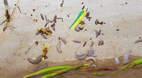 Người dân dùng đăng bắt được rất nhiều con sâu ăn ngao biển. Ảnh: Lê Hoàng.