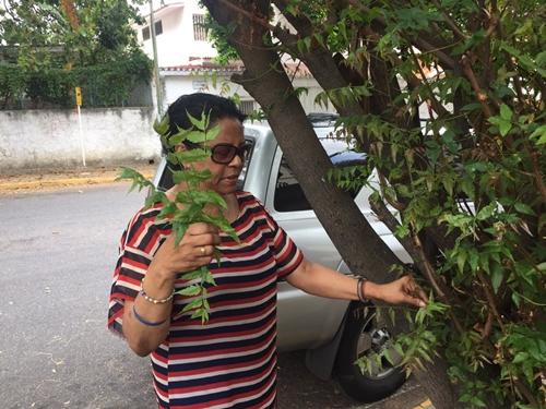 Rosa Elena ngắt lá cây sầu đâu về nhà dự trữ vì tin rằng loại lá này giúp kiểm soát đường huyết. Ảnh: Twitter.