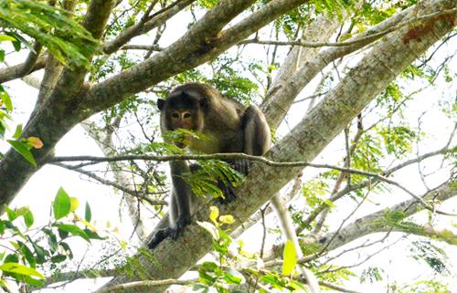 Một trong 5 con khỉ hoang cắn người trước đó đang bị theo dõi. Ảnh: An Xuân.