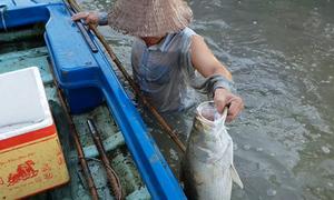 Dùng thuốc thu hoạch cá chẽm ở Cà Mau