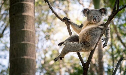 Rogue là con gấu koala rất được yêu quý ở khu bảo tồn. Ảnh: Instagram.