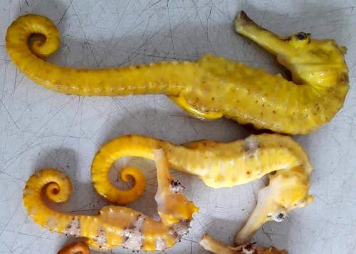 Ba con cá ngựa vàng tại đại lý hải sản. Ảnh: Thạch Thảo.