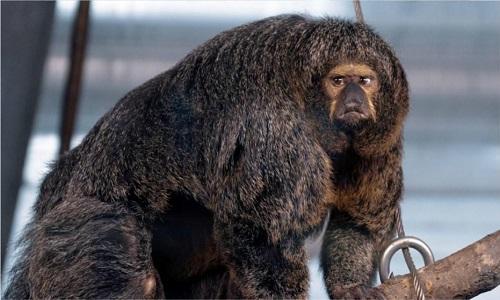 Con khỉ cái thuộc loài khỉ saki mặt trắng ở vườn thú Korkeasaari. Ảnh: Fox News.
