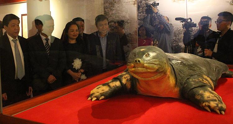 Tiêu bản rùa Hồ Gươm nhìn giống như thật được trưng bày tại đền Ngọc Sơn. Ảnh: Phan Minh.