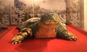 Tiêu bản Rùa Hồ Gươm được bảo quản trong tủ gỗ hương