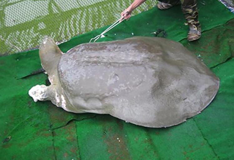 Rùa Hồ Gươm khi còn sống.