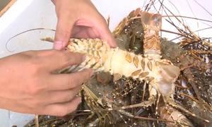 Tôm hùm ở Phú Yên chết vì bệnh đen mang